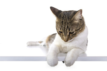stray cat is sitting against isolated white background looking below, whole body, sitting on white table.