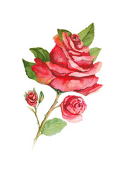 Red rose with buds watercolor painting on white background
