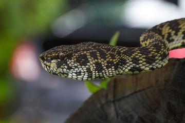 Close up of Mangrove Pitviper snake