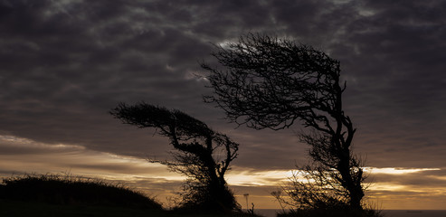 Silhouette of a wind bent hawthorn trees at dawn, on the Isle of Wight, England