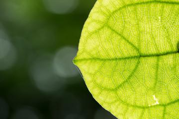 Vain of Green Leaf