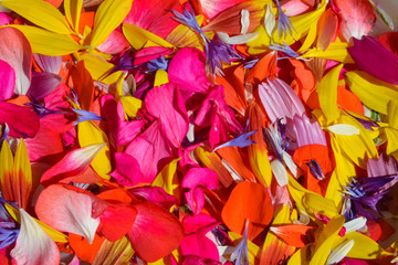 Background. Colorful flower petals