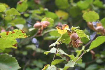Nocciole su albero in autunno