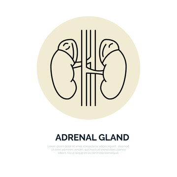 Human organ symbol, adrenal glands. Modern vector line icons of urology. Elements - adrenal glands, kidney. Linear medical pictograms for clinic, hospital. Kidney pictogram. Adrenal glands symbol.
