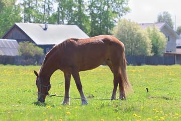 Brown beautiful horse eats fresh green grass in field near villa