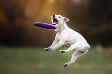Dog catching flying disc in jump