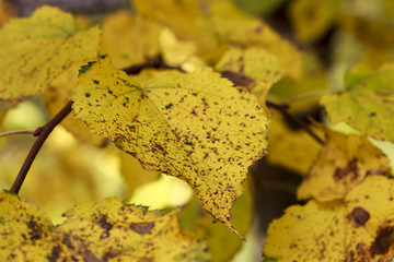 Yellow leaves of linden closeup in autumn
