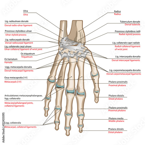 f bones and ligaments of the back side hand stock image wrist pain exercises