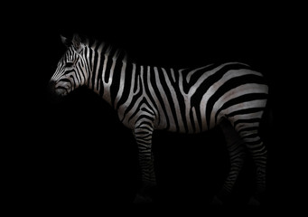 Wall Murals Zebra zebra in the dark