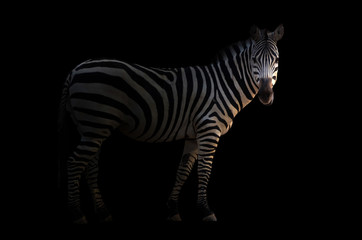 In de dag Zebra zebra in the dark