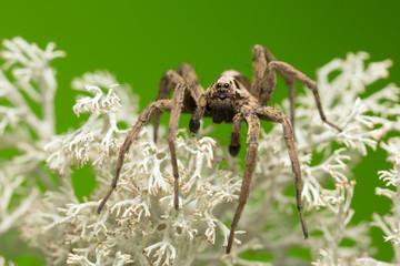 Male wolf spider, Alopecosa inquilina on lichen