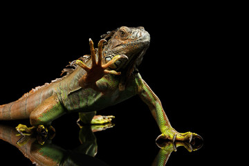Green Iguana Sitting and Gazing Scary, Show claws, Raising Paw Isolated on Black Background