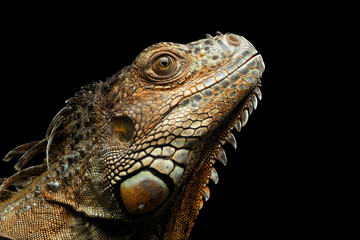 Close-up Head of Green Iguana Stare up Isolated on Black Background