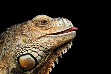 Close-upHead of Green Iguana Looks Kind and raising tongue Isolated on Black Background