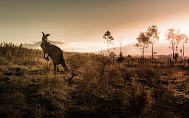 Photo sur Toile Kangaroo Kangaroo encounter during sunrise