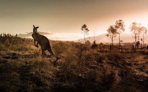Kangaroo encounter during sunrise