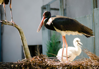 Black stork and cute fluffy white chik in nest