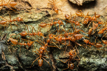 Close up of red ants in the nature.