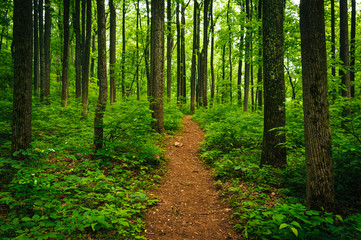 Trail through tall trees in a lush forest, Shenandoah National P