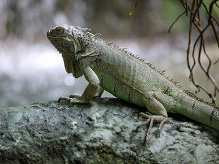 large green iguana with long legs