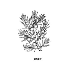 The branch of juniper with berries.