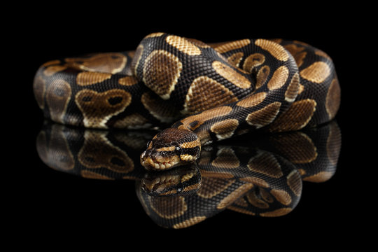 Ball or Royal python Snake on Isolated black background with reflection