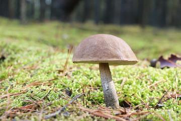 brown-cap mushroom in moss