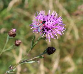 Schmetterling,Flockenblume,Widderchen,Blüte