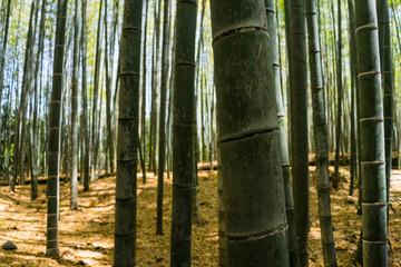 Visiting arashiyama bamboo garden