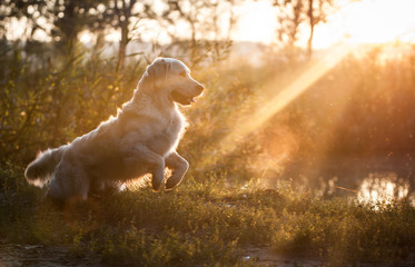 Golden Retriever in sunset
