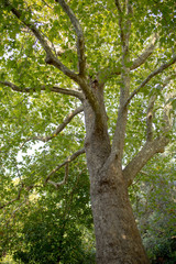 View up a beautiful old plane or sycamore tree with its green leaves and sunshine rays in the background.