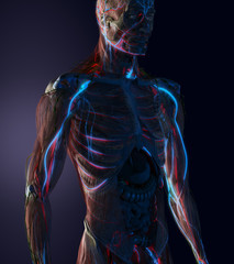Man anatomy with visible cardiovascular system, veins and vessels,