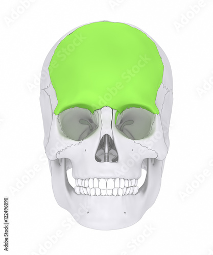 Frontal Bone Os Frontale Stock Photo And Royalty Free Images On