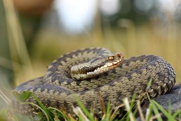 european viper on mountain meadow