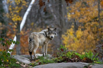 Timber wolf standing on a rocky cliff looking back in autumn