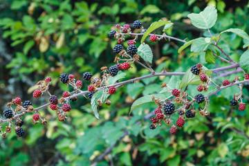 Rubus ulmifolius. Moras. Frutos silvestres, Zarzamora.
