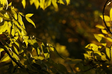 autumn leaves in the sun, blurred background