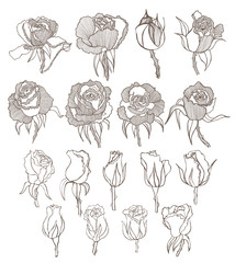 vector hand drawn roses set
