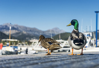 Ducks couple
