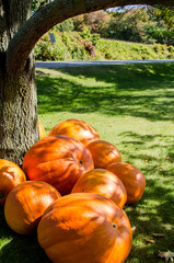 giant orange pumpkins piled under large tree
