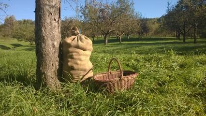 Apfelernte im Remstal