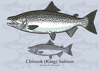 Chinook (King) Salmon. Vector illustration for artwork in small sizes. Suitable for graphic and packaging design, educational examples, web, etc.