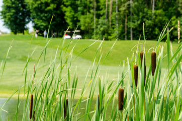 Golf course and carts framed by bull rushes