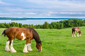 Clydesdale horses feeding on grass