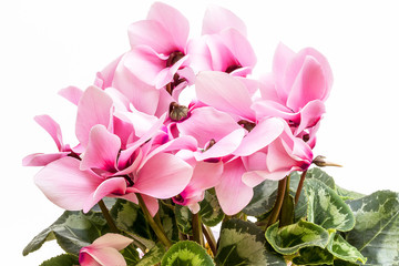 Flowers of pink cyclamen isolated on white background