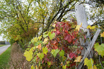 wild grapevine and red creepers wrapped on old fence