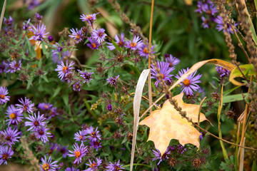 yellow maple leaf and purple asters