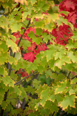 red maple leaves framed by green leaves