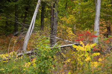 Forest scene with sumac and fallen trees