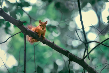 Red Squirrel Sitting On The Branch Of A Tree